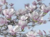 Fotomural 8-738 Magnolia