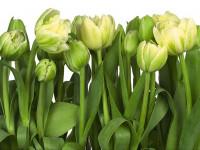 Fotomural 8-900 Tulips