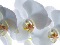 FTSS0832 - Fotomural White Orchid