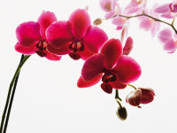 Fotomural Orchid A001