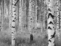 Fotomural XXL4-023 Woods